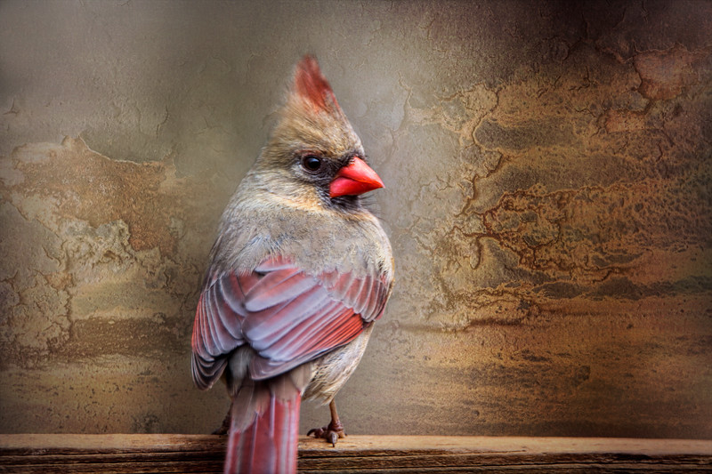 Female Northern Cardinal, texture added.<br /> <br /> So 90% of the time we have clouds, no sun, seems like forever.