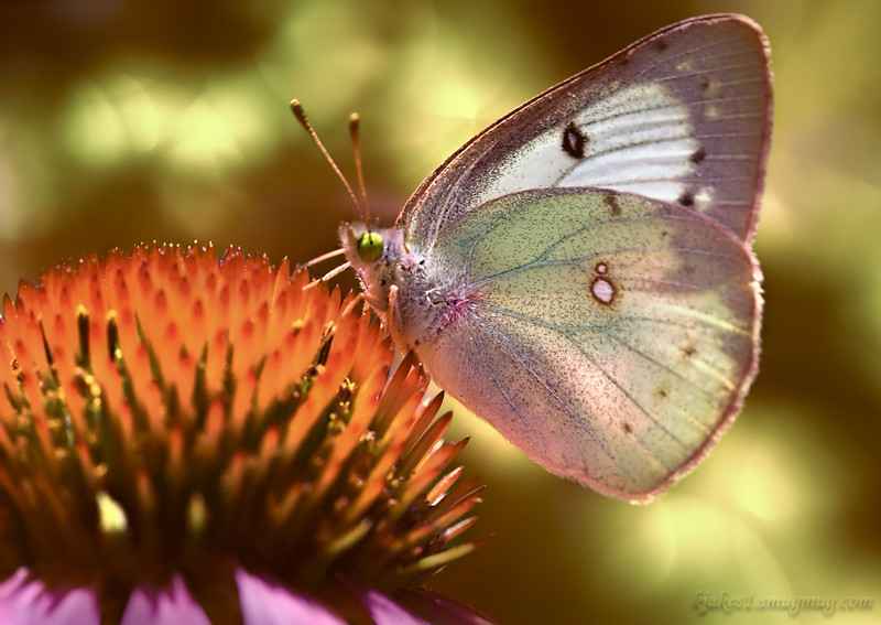 Clouded Sulphur Butterfly<br /> Leafy
