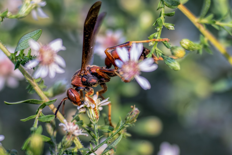 wasp in the asters