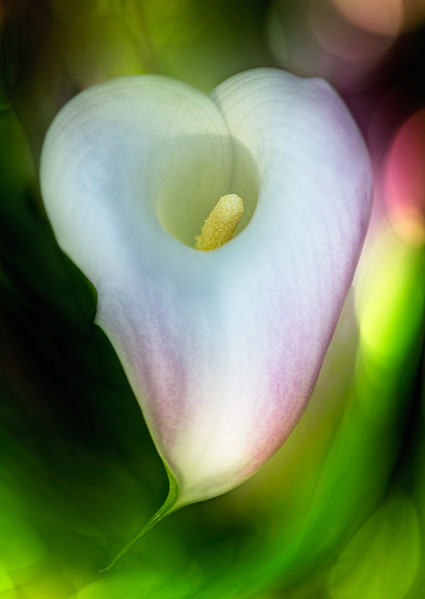 Heart Calla, for Valentine's Day