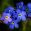 Forget-me-nots.<br /> Tangled up in Blue