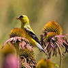 American Goldfinch ... male, and he's a much brighter yellow than his female counterpart.  They've been snacking on the spent coneflower seeds the last couple weeks.  It's such a treat to see them after the bees and butterflies are done with them, then the Goldfinch finishers come in.