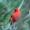 Male Northern Cardinal.<br /> Its a jungle out there.