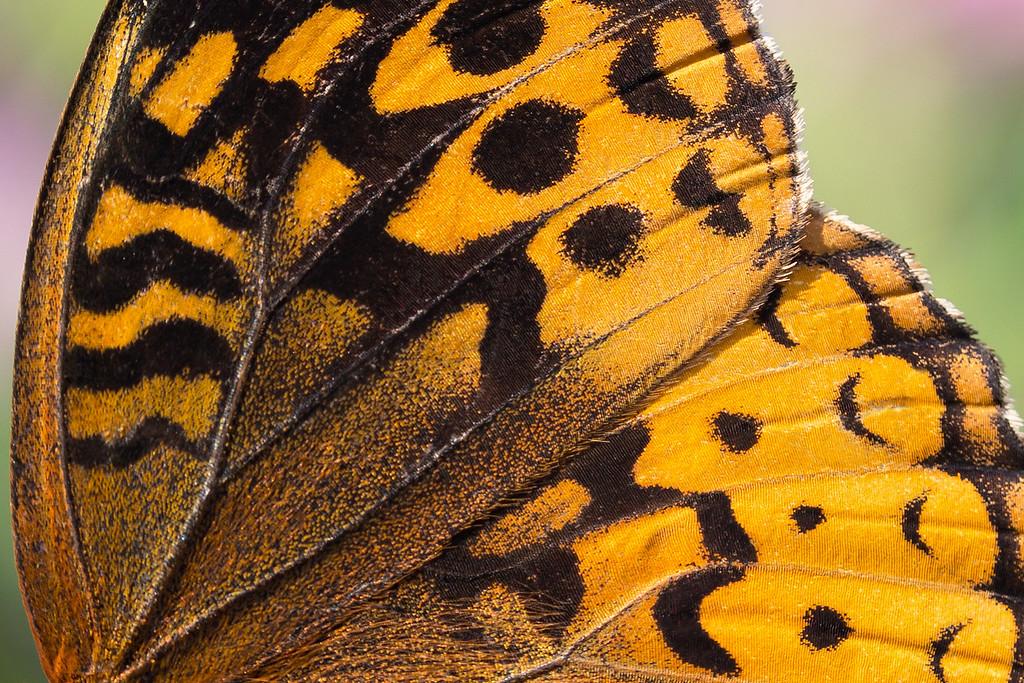 Frittilery butterfly.