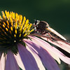 Robber Fly on Coneflower