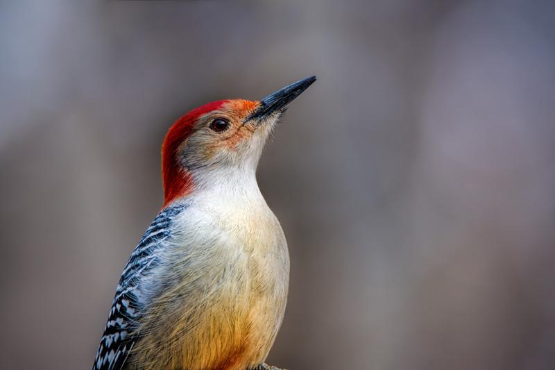Male Red-bellied Woodpecker.