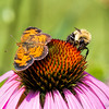 Pearl Crescent Butterfly with Bee<br /> on Purple Coneflower