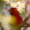 Male, Northern Cardinal