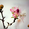 Fall meets Spring -- cropped version<br /> <br /> Thanks, Judy, for the suggestion, I agree, a lot needed to be cropped out, but I thought I should keep a couple of the apples.   I guess this Japanese crab apple tree seemed to get a little confused about the strange weather we've been having and last November after the blossoms were long gone and the crab apples began to fall, we had an unusually warm few weeks and this blossom showed up.  It was the only one on the tree.  The original is in the following photo.<br /> I really appreciate your thoughtful input and comments!