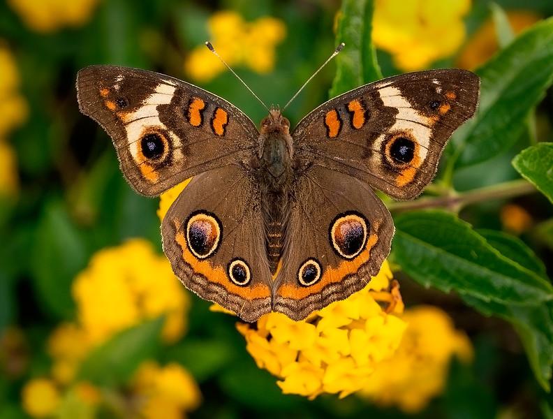 Buckeye Butterfly, Litchfield Beach, SC
