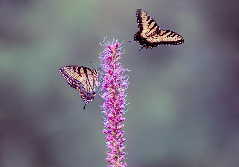 Swallowtail composite