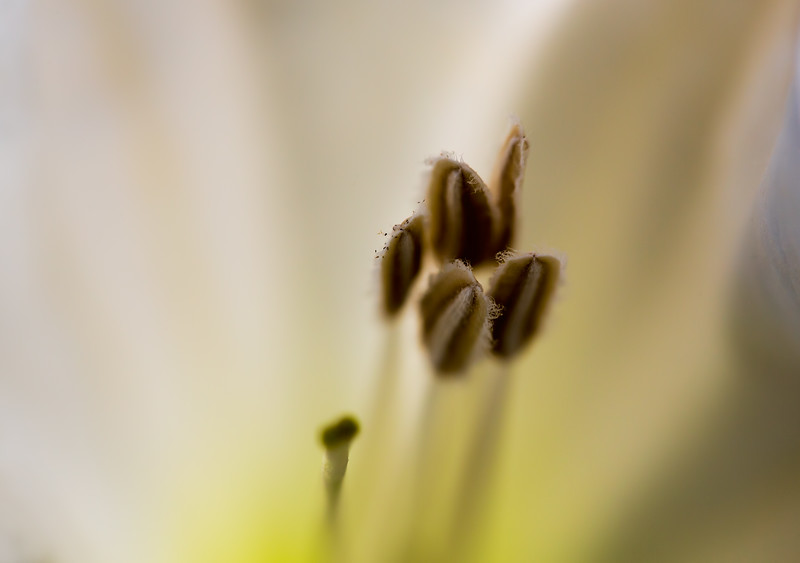 Pistil and Stamen of the Moon Flower.