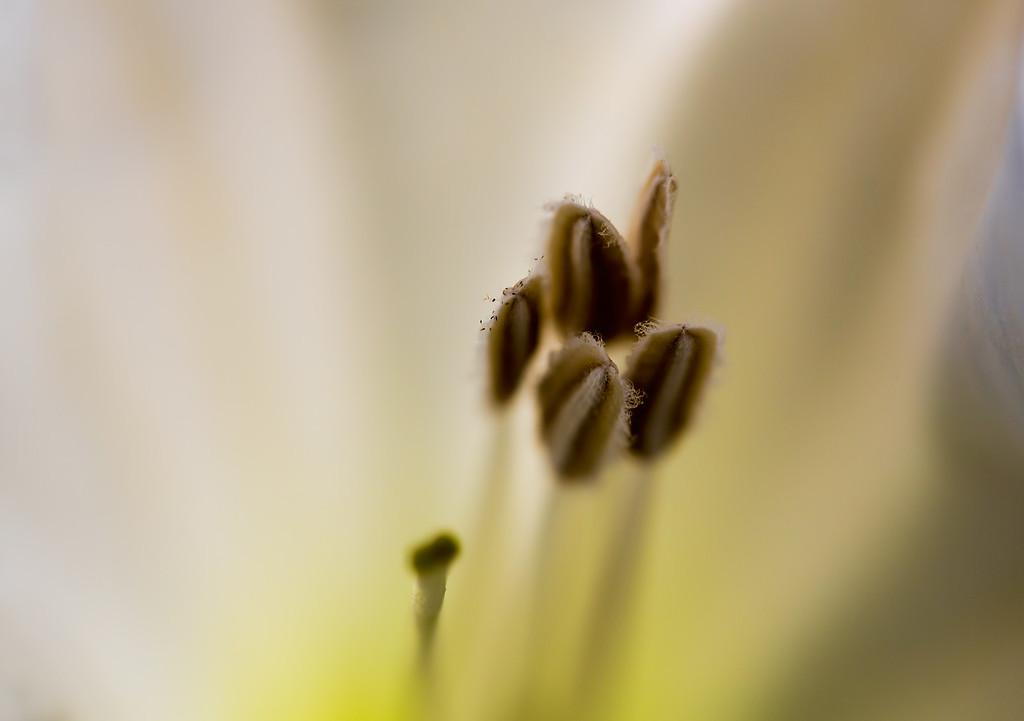 Pistil and Stamen of the Moon Flower.