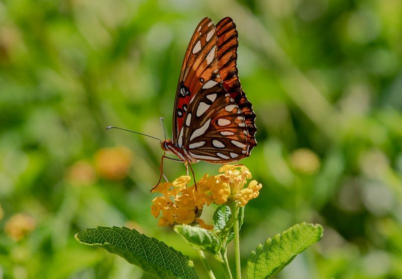 Fritillery Butterfly