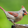 Female Northern Cardinal.<br /> Loves sunflower seeds.