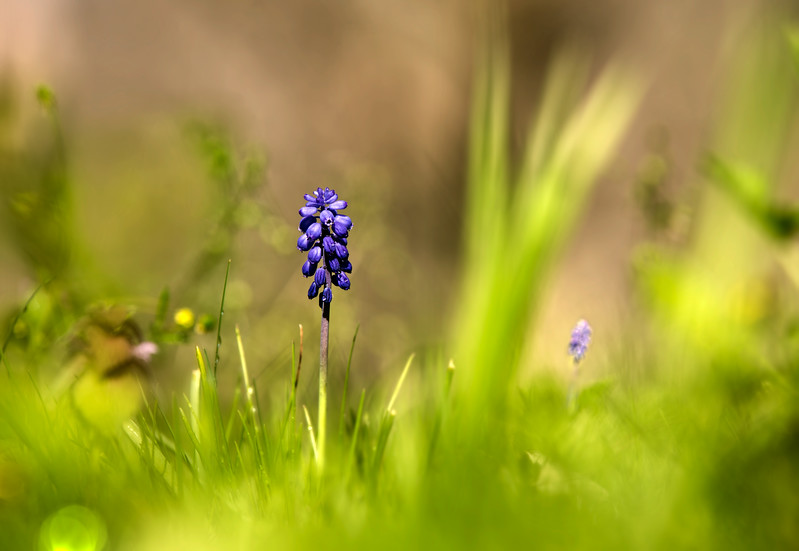 Grape Hyacinth. Very happy to see these little blooms, missed them last year.