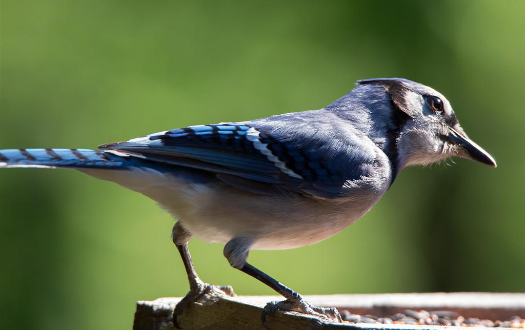 Blue Jay.