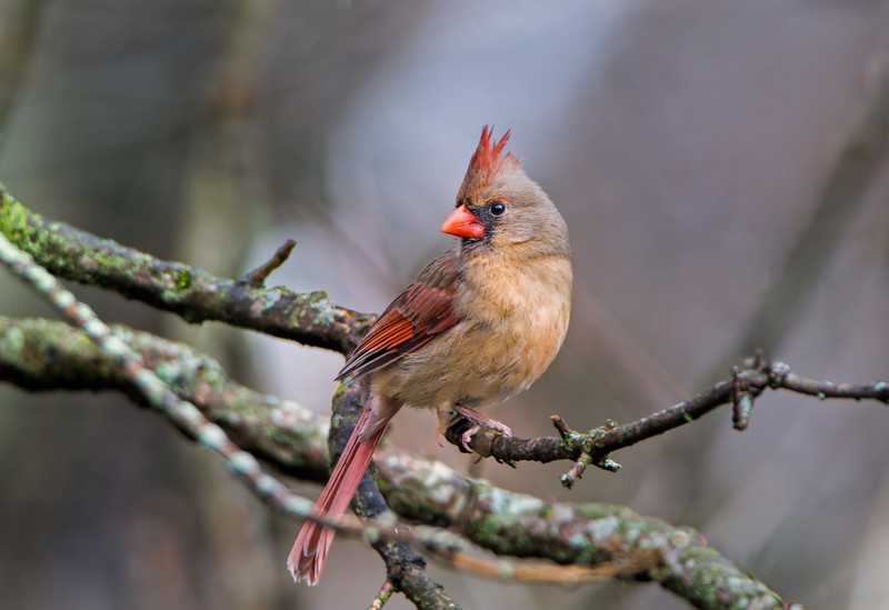 Female Northern Cardinal.  The females are much prettier than the males this year,  just saying.