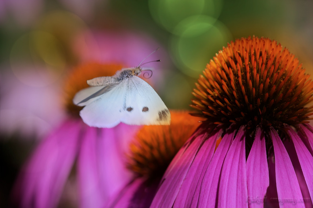 Small White Butterfly on Cone Flower