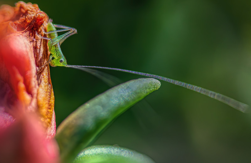 Katydid (fork tail) in the flowers.  Tiny, about half size of a fingernail.<br /> <br /> Camera is Sony a7riii with metabones adapter for the Canon lens, 100mm f/2.8 macro with 30mm extension tube.