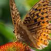 Frittilary Butterfly