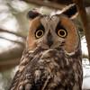 Long-eared Owl in Mercey Springs CA