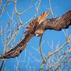 Red-tailed Hawk at Sacramento Wildlife Refuge
