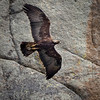 Golden Eagle in Yellowston
