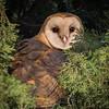 Barn Owl at Maxwell Cemetery