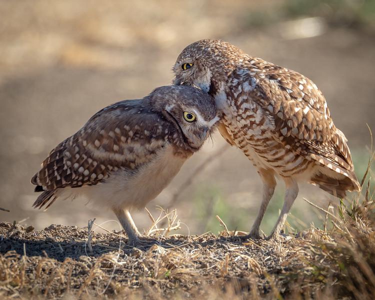 Burrowing Owl Grooming Chick