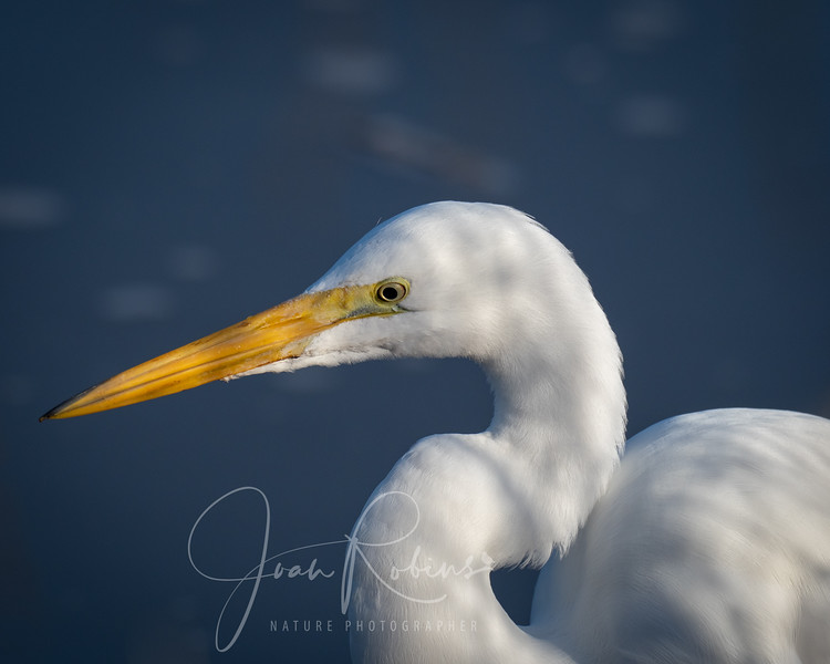 Great Egret at Sacramento Wildlife Refuge