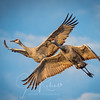 Sandhill Cranes at Llano Seco Wildlife Refuge