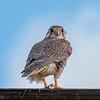 Prairie Falcon in Tehema County