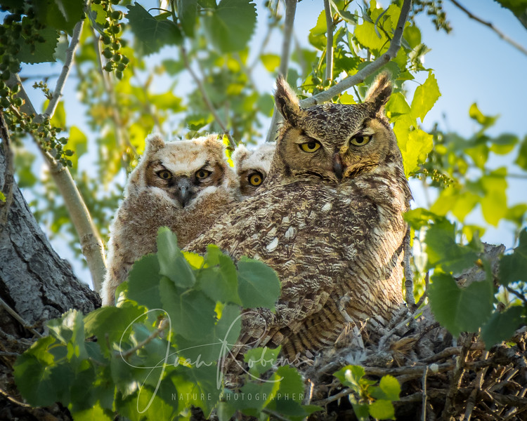 Great-horned Owl Family in Princeton CA
