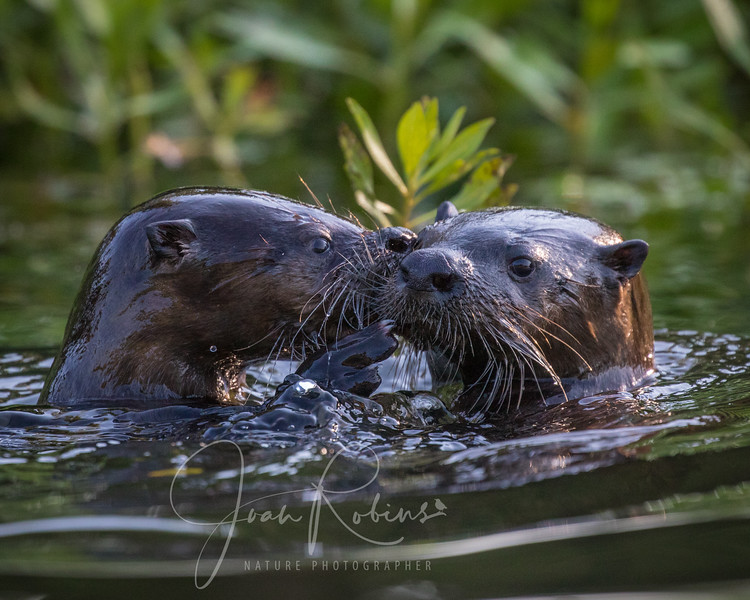River Otters on Pine Creek in Chico