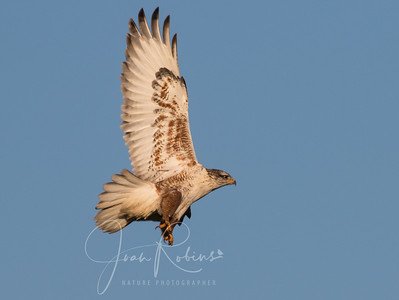 Ferruginous Hawk taking off