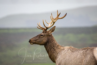 Elk in the rain