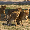 Young Lions frightened by a passing boat, run toward our vehicle, Zambia, Africa