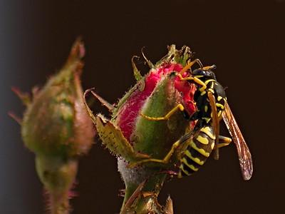 Yellow jacket on a Rose bush
