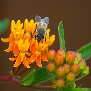 Bumble bee getting it's nectar from a Butterfly Weed bush