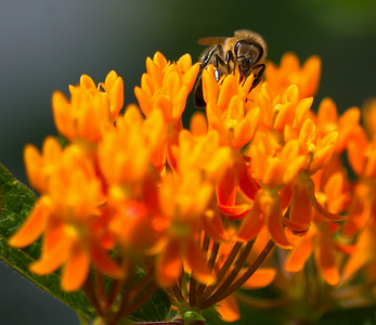 Bumble bee on a Butterfly Weed bush