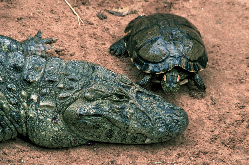 Cayman and Turtle