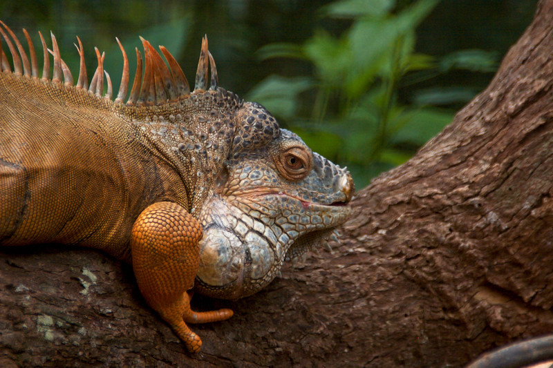 Iguana.CR2
