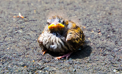 This little guy just looks so grumpy... I love little angry bird.