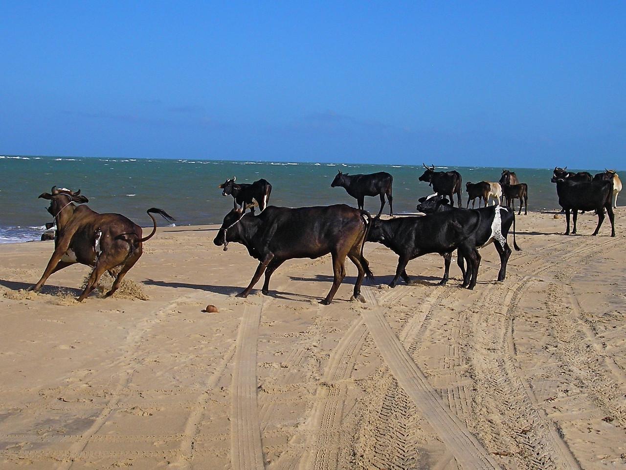 Cows in Natal, Brazil
