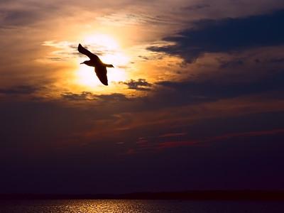 Seagull Eclipse