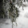 Iced cedar