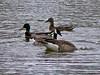 Ducks - Geese<br /> Winnipeg Canada
