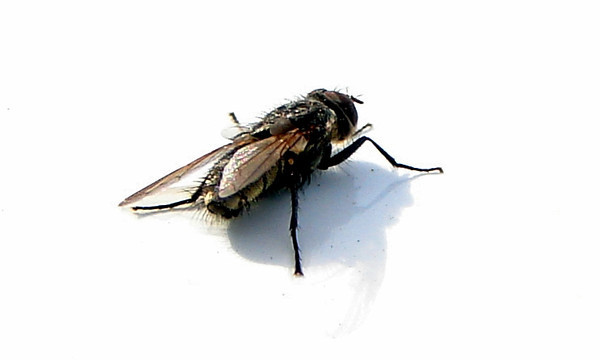 Fly on Car Roof<br /> Fargo ND