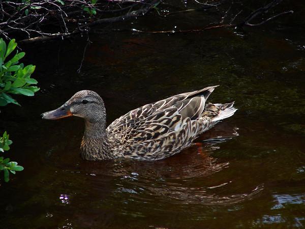 Duck<br /> Whiteshell Lake<br /> Manitoba Canada